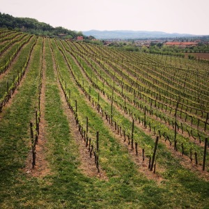 Scenic vineyards of Le Pignole, Brendola, Veneto