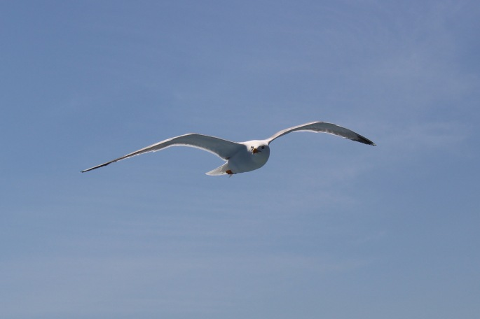 a gull accompanies us on the crossing